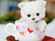 超级萌的宠物茶杯犬美图