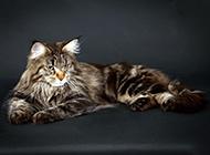 黑白缅因猫图片姿态优雅神气