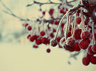 冬季里的野果霜花唯美水果图片