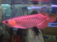 身体修长的超级红龙鱼图片