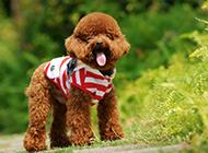 造型可爱个性泰迪犬图片