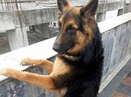 德国黑背犬精美图片