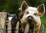 性感的小猪猪唯美高清图片