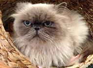 喜马拉雅种猫图片眼神严肃认真