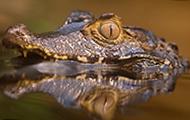 水上霸主凶残的鳄鱼高清图片