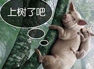 母猪上树了爆笑图片