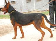 山西悍将莱州红犬侧影图片