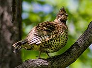 枝头歇息的东北飞龙鸟图片