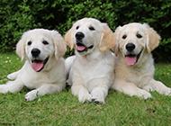 三只金毛寻回犬幼犬高清图片