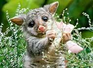 可爱迷人的负鼠静态高清图片