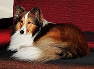 沙发优雅端庄的喜乐蒂牧羊犬图片