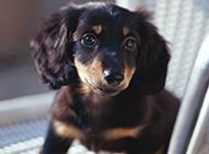 乖巧机灵的腊肠犬图片