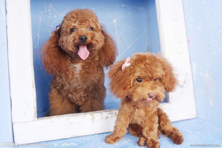 萌萌哒宠物狗茶杯犬图片