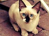 贵气孤傲的暹罗猫生活写真照片