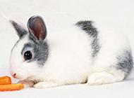 可爱呆萌长耳兔精美高清壁纸