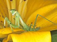 大型昆虫绿巨螳螂图片