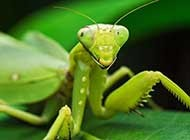 昆虫王者凶悍的螳螂高清图片