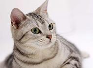 可爱灰白色宠物小猫咪动物图片