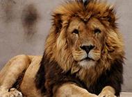 凶猛藏獒呲牙怒吼吓坏雄狮 东方神犬王者称霸