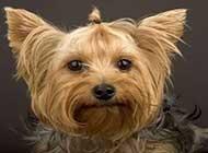 可爱小宠物--约克夏梗犬