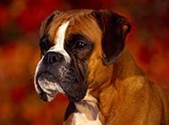 巴哥犬等中小型宠物狗图片合集