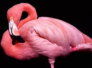 羽毛艳丽丰满的美丽火烈鸟图片