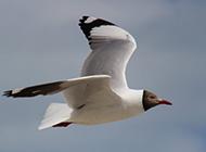 海边蓝天下飞翔海鸥图片壁纸