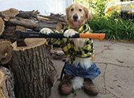 可爱金毛狗狗逗趣生活图片精选