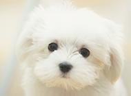 可爱狗狗纯白比熊图片