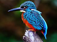 动物荆棘鸟图片美丽鲜艳