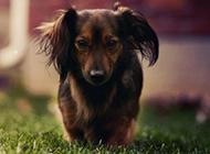 小型腊肠犬图片俏皮写真集锦