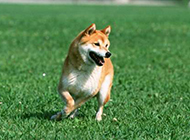 毛茸茸的小狗玩耍高清壁纸