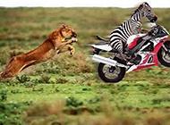 林中之王也不怕了搞笑动物ps图