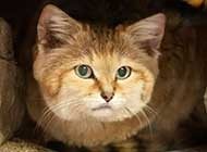可爱小巧的沙丘猫高清图集
