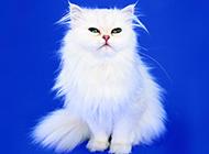 白色长毛波斯猫优雅姿态图片