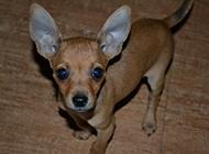 机灵呆萌的小鹿犬图片