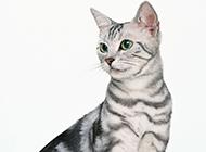 名贵的银色层美国短毛猫图