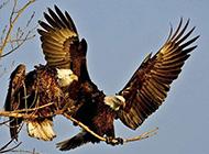野生猛禽老鹰高清特写