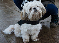 拉萨犬小型可爱狗狗图片