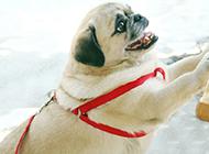 个性开朗的成年八哥犬图片