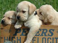 可爱萌宠拉布拉多幼犬壁纸