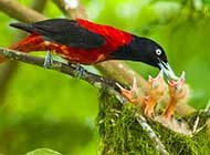色彩鲜艳的朱鹂哺育幼鸟高清图片