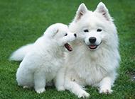萨摩耶犬可爱唯美图片壁纸