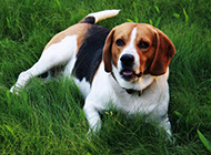乖巧的小猎兔犬草地可爱图片