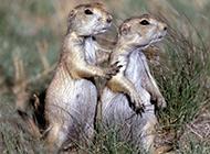 可爱土拨鼠相亲相爱图片