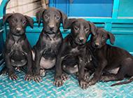 黑狼犬幼崽组群卖萌图片