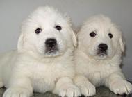 纯种大白熊犬幼崽图片