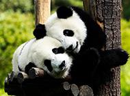 国宝熊猫图片素材可爱憨厚