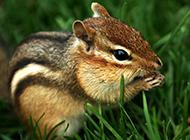 可爱花栗鼠吃东西图片