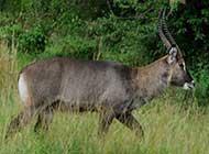动物的奔跑者 羚羊的活跃